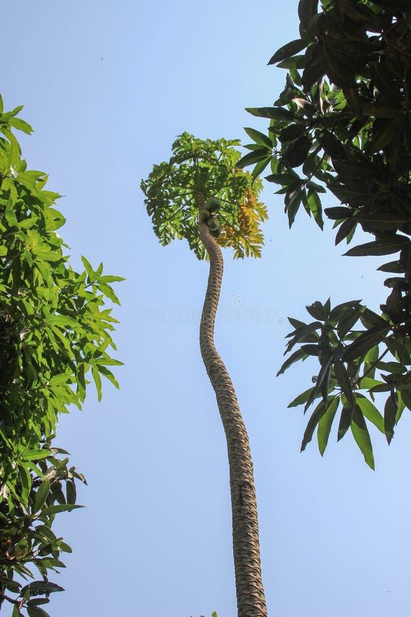Uma árvore muito alta com frutos verdes da papaia fotografia de stock royalty free
