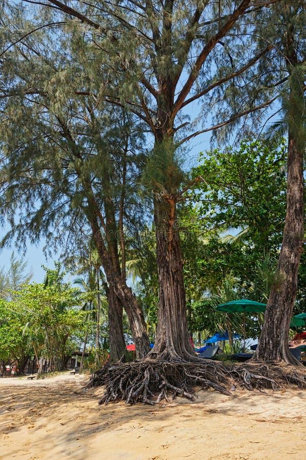 uma árvore na praia com raizes foto de stock royalty free