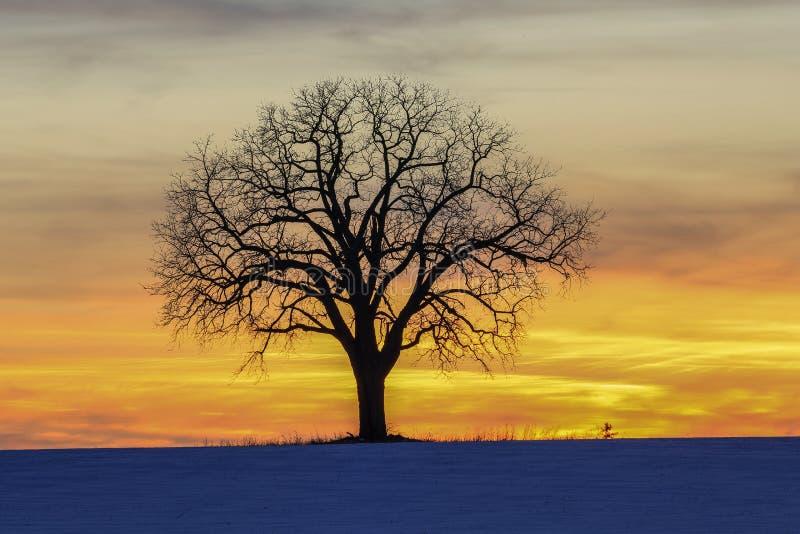Uma árvore no por do sol dourado fotografia de stock