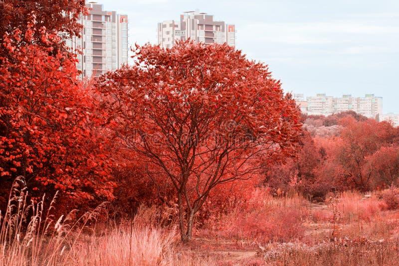Uma árvore nova em um jardim do outono contra um contexto de casas altas da cidade fotos de stock