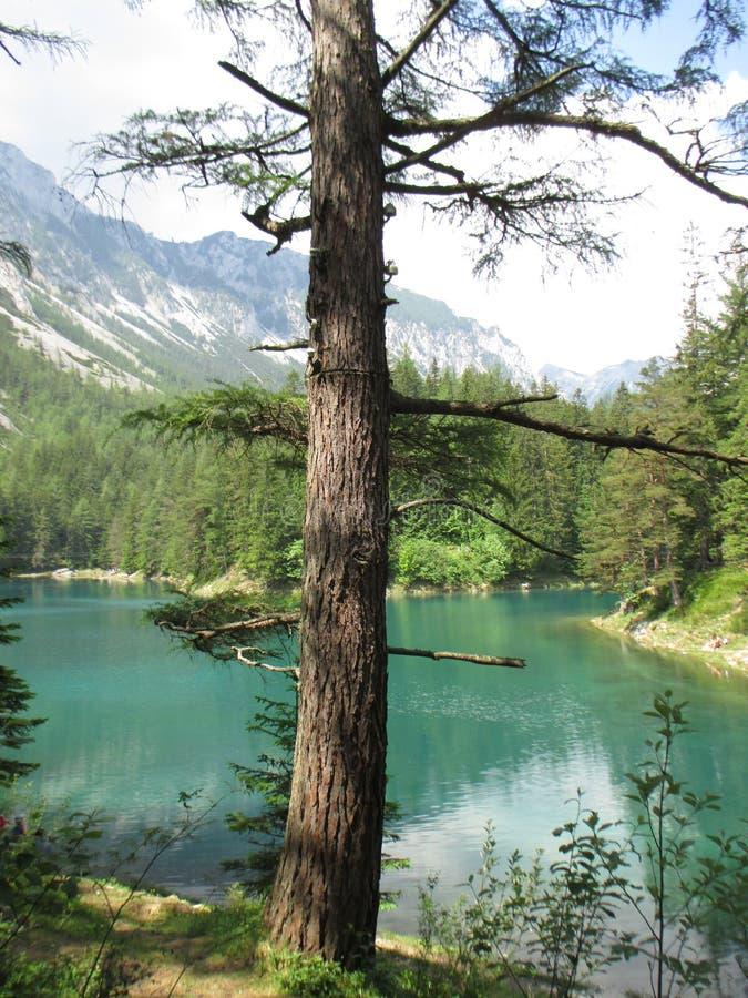 Uma árvore pelo lago nas montanhas ajardina imagem de stock royalty free