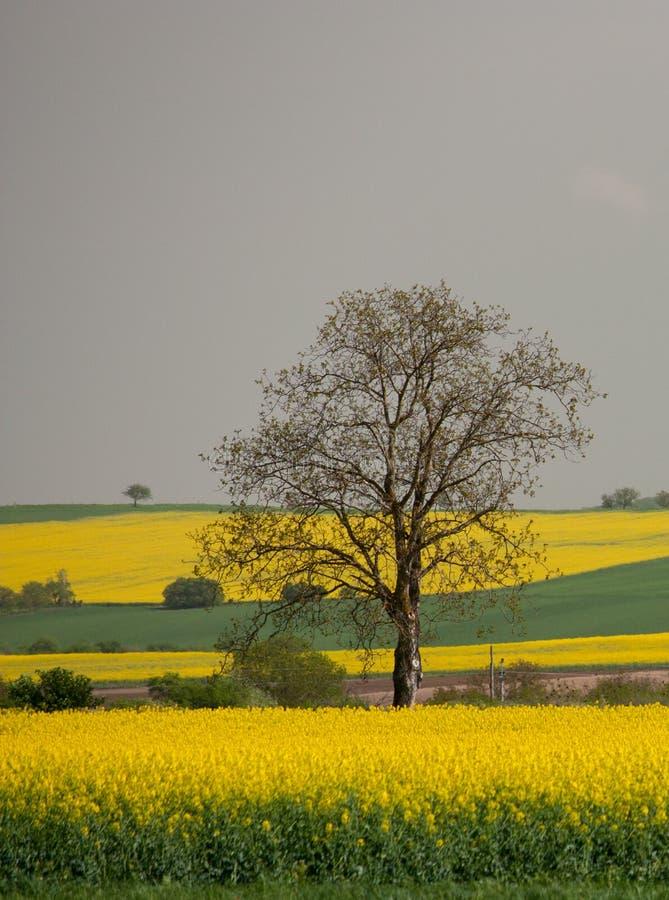 Uma árvore só grande nos campos amarelos do Canola em Eslováquia imagem de stock royalty free