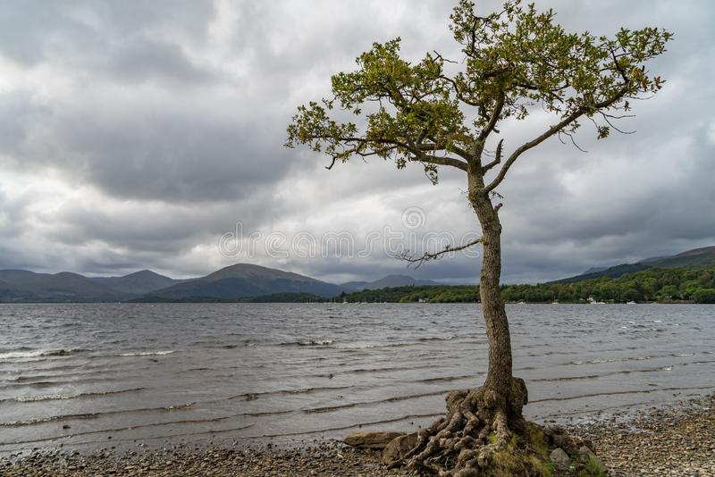 Uma árvore só no meio das águas calmas da baía milarrochy Loch Lomond imagem de stock royalty free