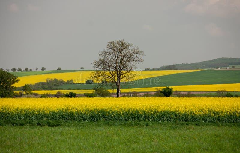 Uma árvore só nos campos do Canola em Eslováquia fotos de stock