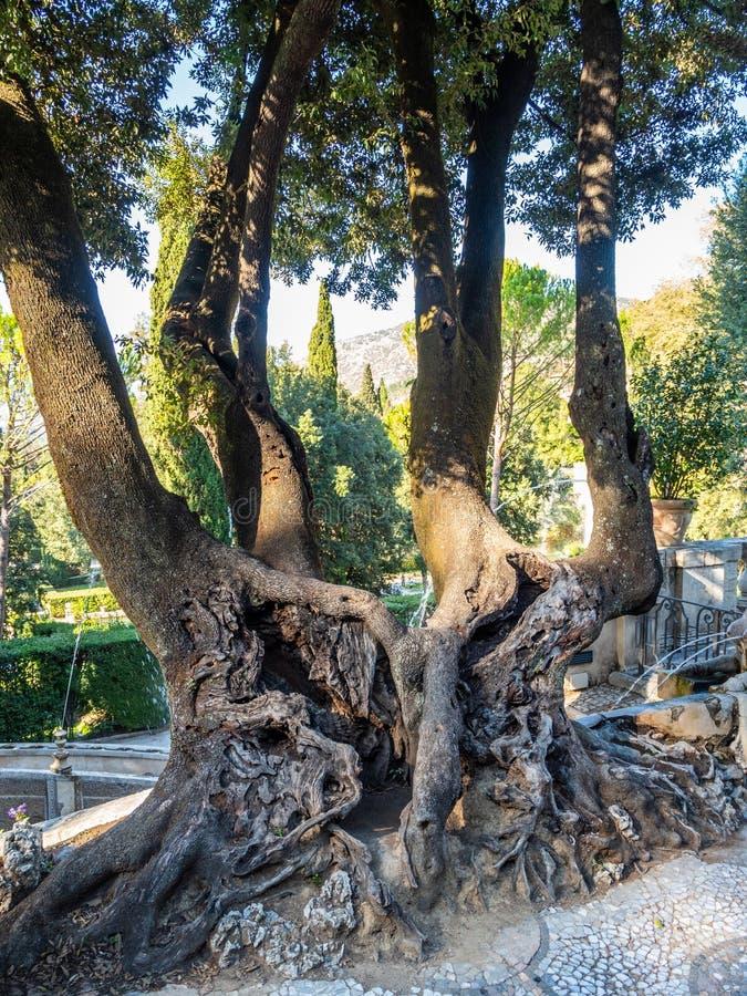 Uma árvore velha com quatro troncos e uma raiz enorme no jardim na casa de campo D 'Este em Tivoli, Itália fotos de stock royalty free