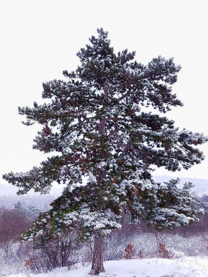 Uma árvore velha grande no inverno foto de stock royalty free