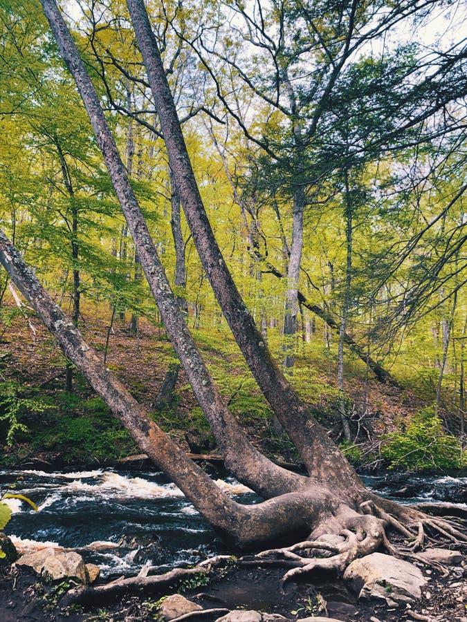 Uma árvore velha grande que cresce pelo córrego dentro das quedas de Bushkill imagens de stock royalty free