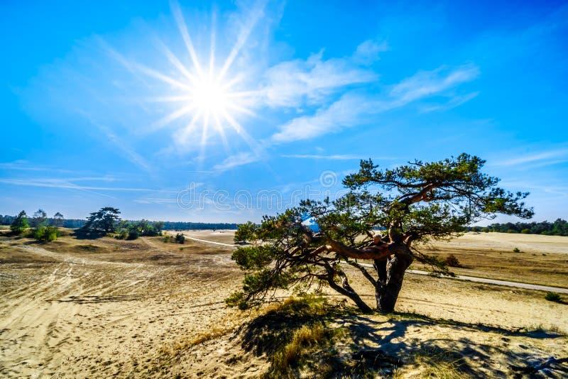 Uma árvore windswept no mini deserto Beekhuizerzand na reserva natural de Hoge Veluwe foto de stock royalty free