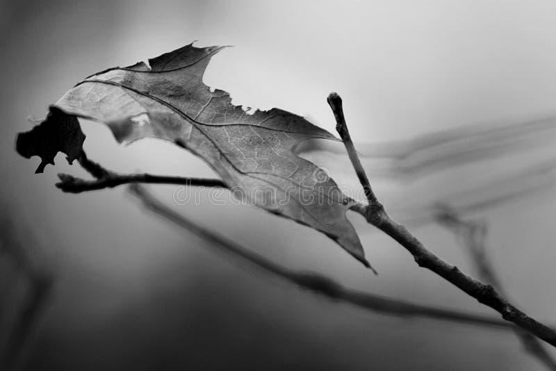 Uma última folha em um cenário preto e branco foto de stock