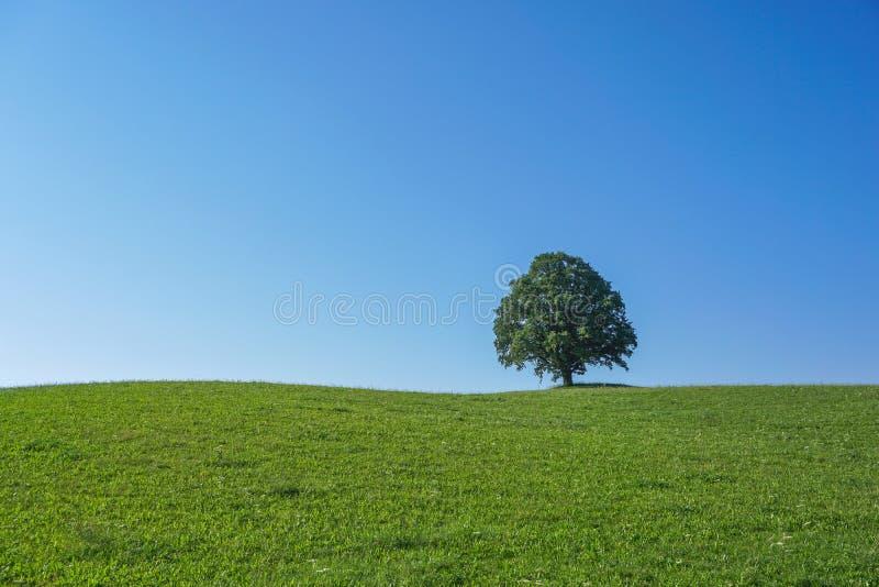 Uma única árvore em um prado foto de stock