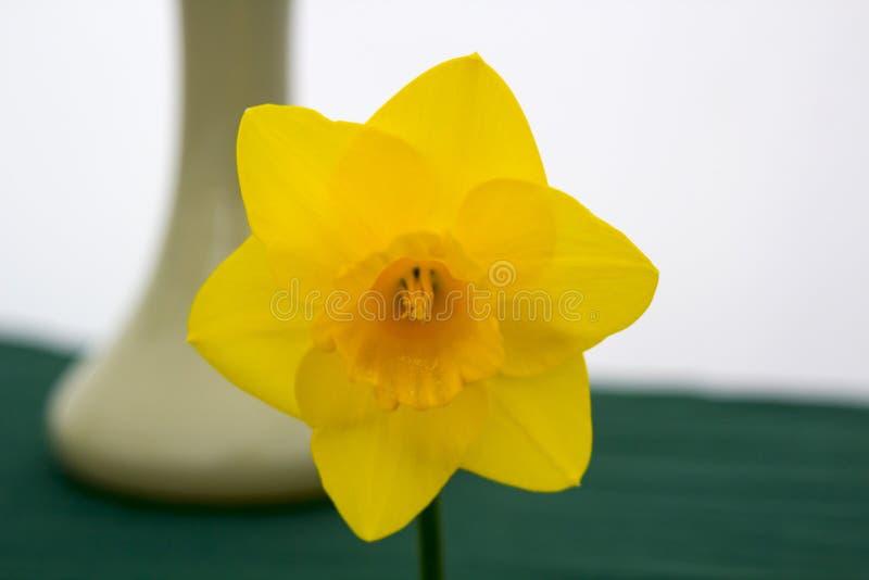 Uma única flor do narciso amarelo na exposição na seção de Junior School do festival de mola anual realizado no Demesne Belfast N fotografia de stock royalty free
