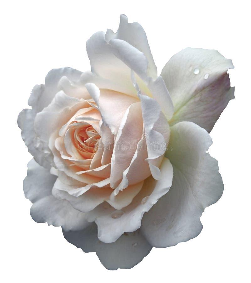 Uma única grande rosa branca pálida de florescência com pingos de chuva imagens de stock royalty free