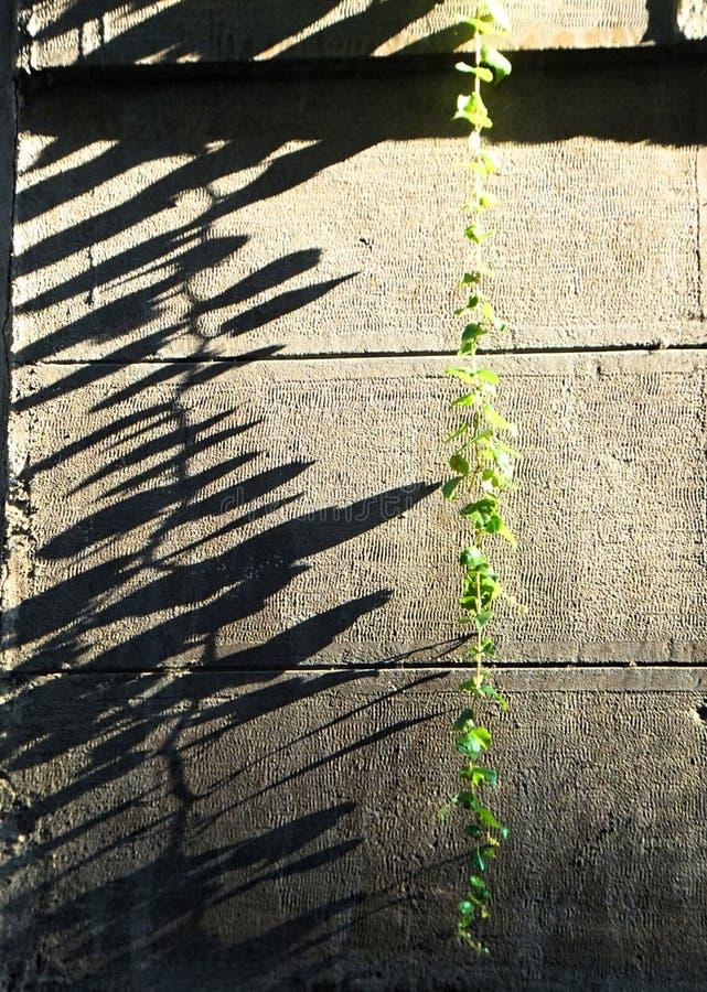 Uma única haste de uma planta viny que pendura contra uma parede, suas folhas que moldam sombras longas na parede imagens de stock royalty free