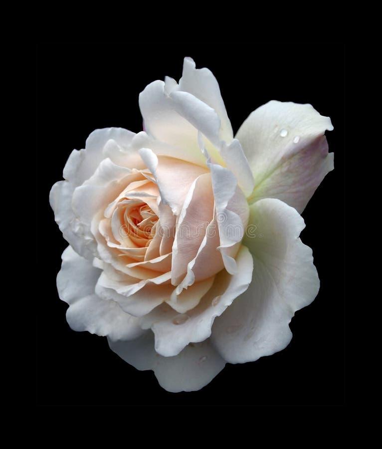 Uma única rosa branca bonita com um pálido - centro cor-de-rosa com os pingos de chuva isolados em um fundo preto fotos de stock royalty free