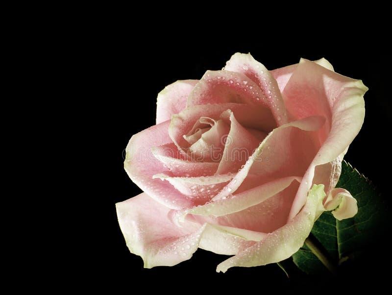 Uma única rosa cor-de-rosa com as gotas de orvalho isoladas em um fundo preto fotografia de stock