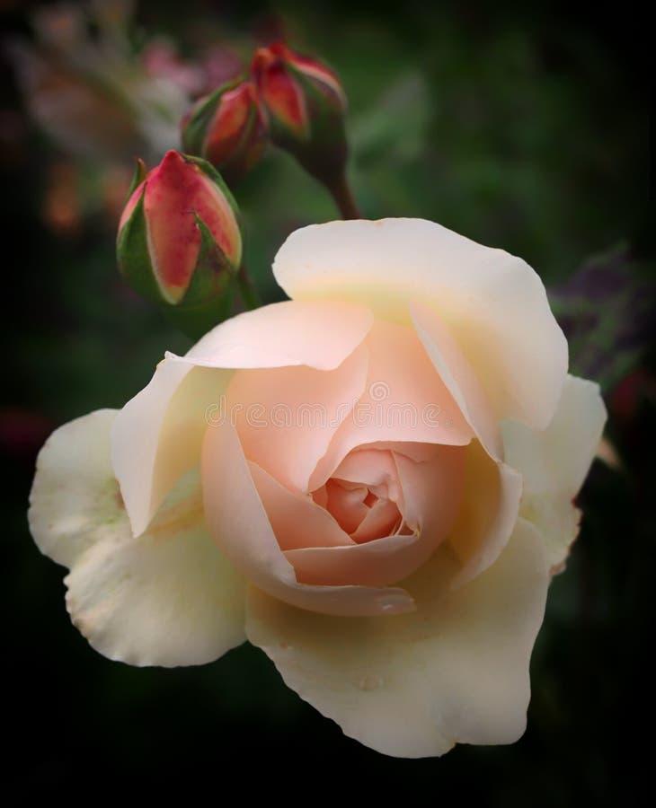 Uma única rosa do rosa com rosebud fotografia de stock royalty free