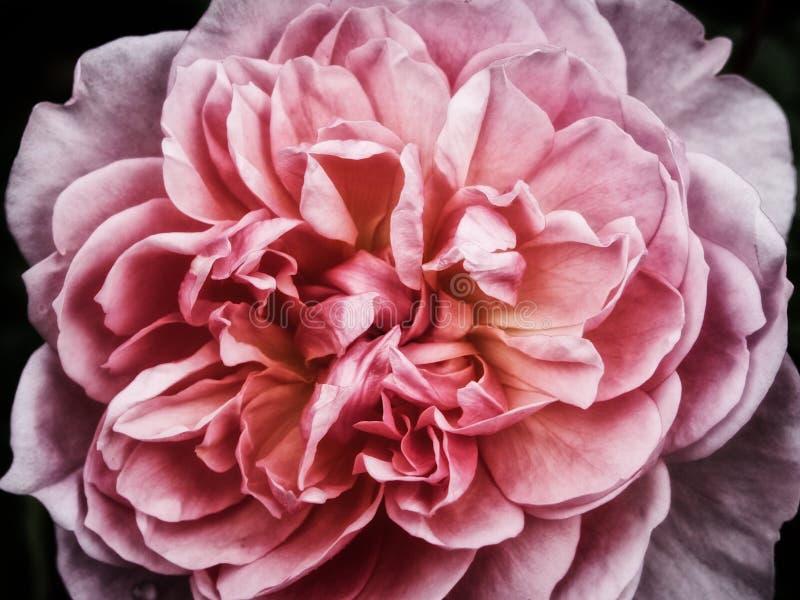 Uma única rosa do rosa imagem de stock royalty free