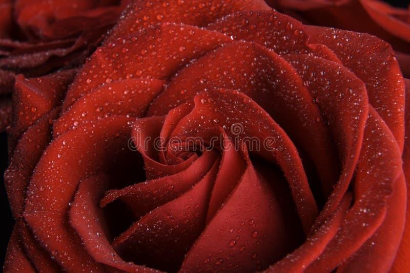 Uma única rosa do vermelho com orvalho nele foto de stock