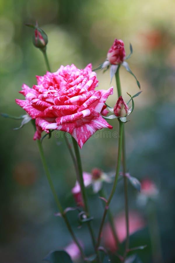 Uma única rosa listrada cor-de-rosa fotografia de stock