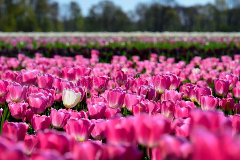 Uma única tulipa branca só em um campo de tulipas cor-de-rosa foto de stock royalty free