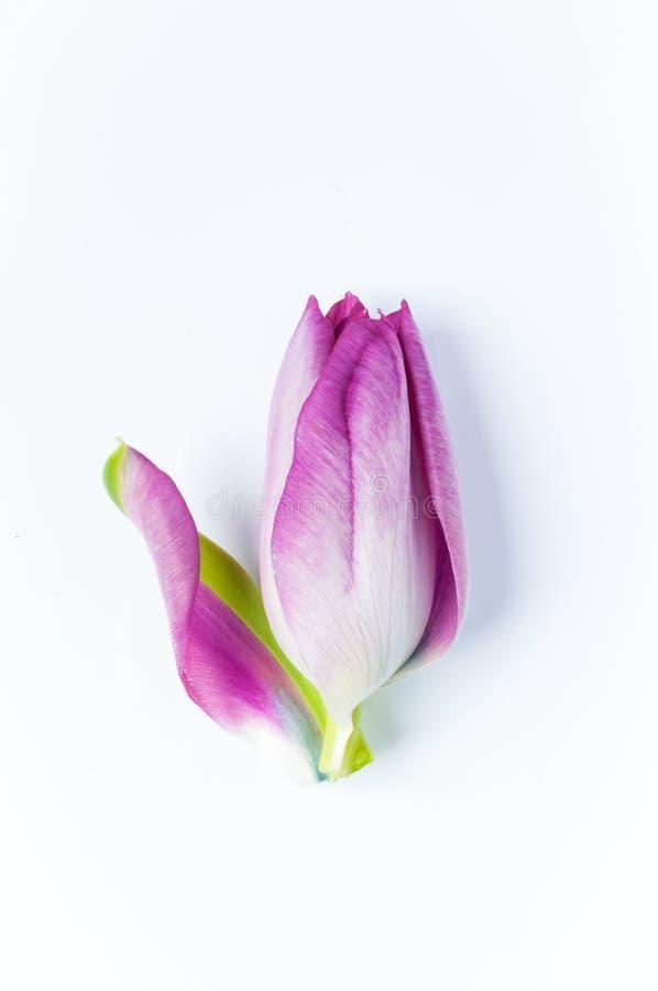 Uma única tulipa cor-de-rosa com um unfurling da pétala imagens de stock royalty free