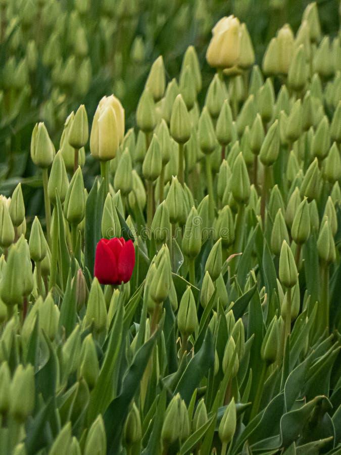 Uma única tulipa vermelha na flor entre muitas flores verdes fechados foto de stock royalty free