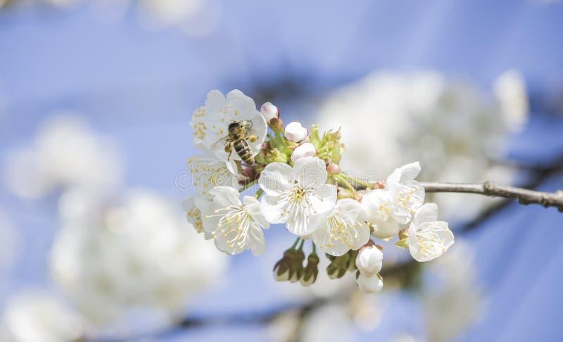Uma abelha digna recolhe o pólen imagens de stock