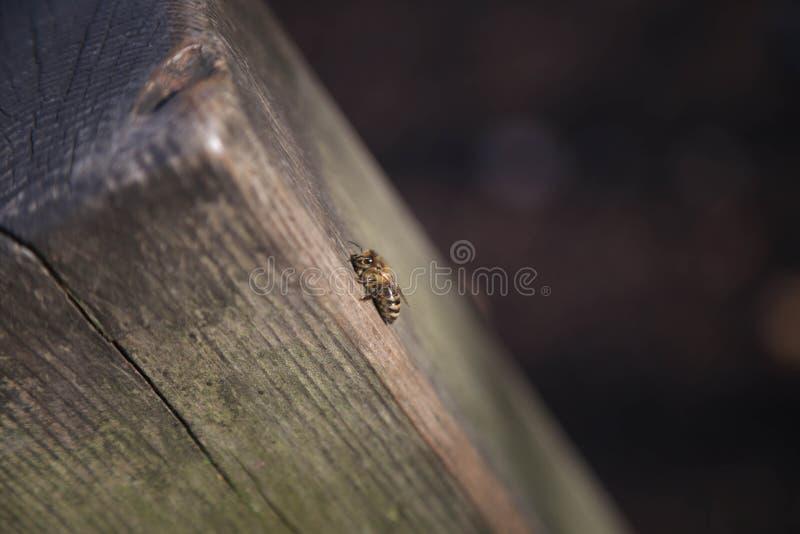Uma abelha do mel em uma árvore - inverno imagem de stock royalty free