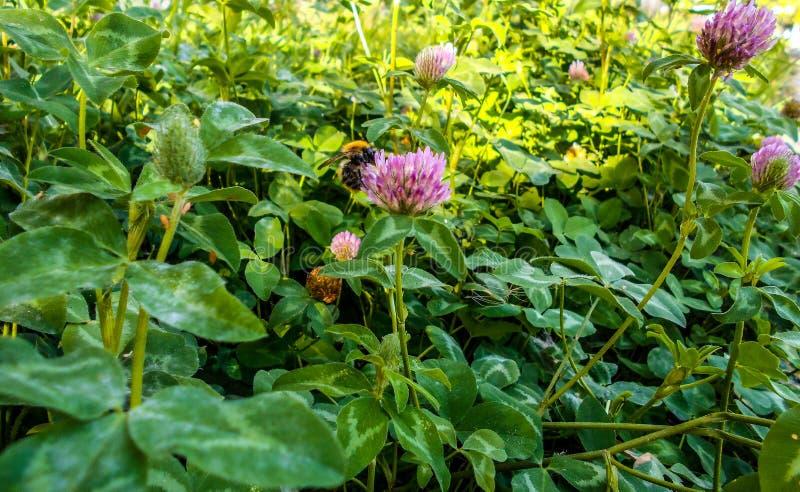Uma abelha em uma flor do trevo Trevo de florescência em um prado foto de stock royalty free