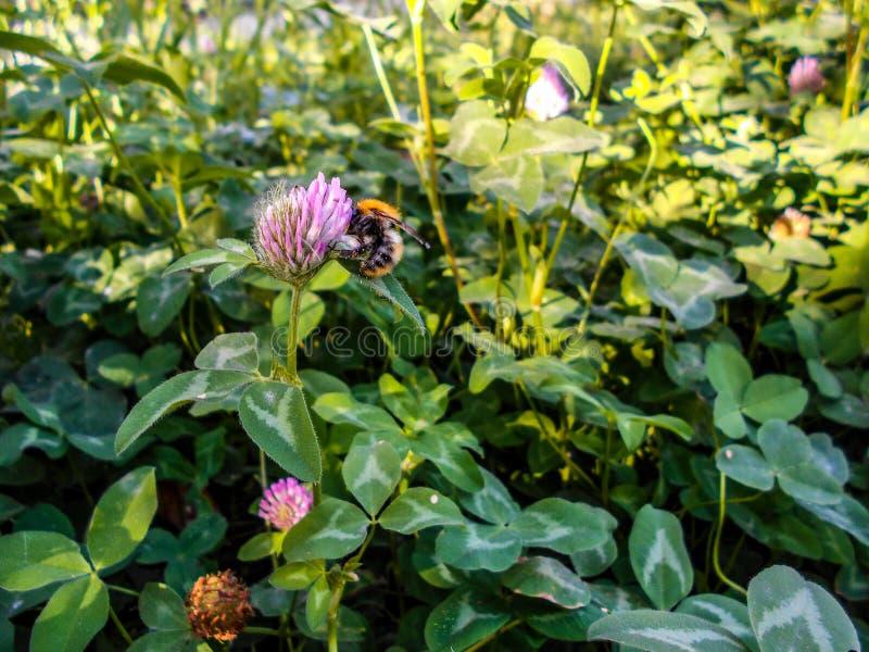 Uma abelha em uma flor do trevo Trevo de florescência em um prado fotos de stock