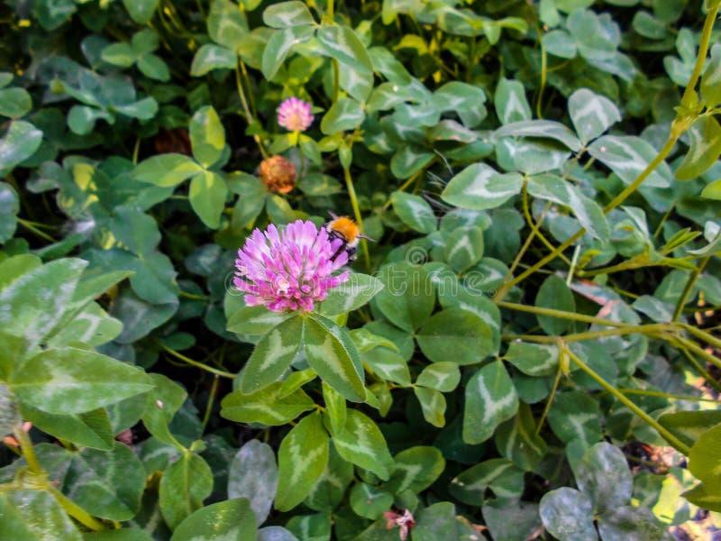 Uma abelha em uma flor do trevo Trevo de florescência em um prado imagens de stock royalty free