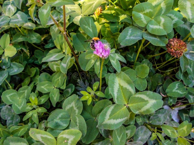 Uma abelha em uma flor do trevo Trevo de florescência em um prado fotografia de stock