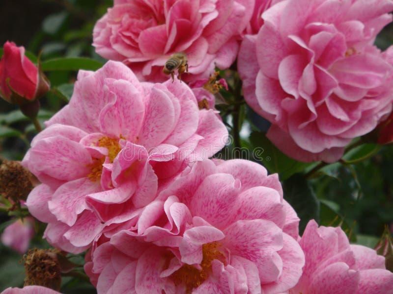 Uma abelha em uma rosa Gertrude Jekyll aumentou em um parque da cidade de Roma em Itália imagens de stock