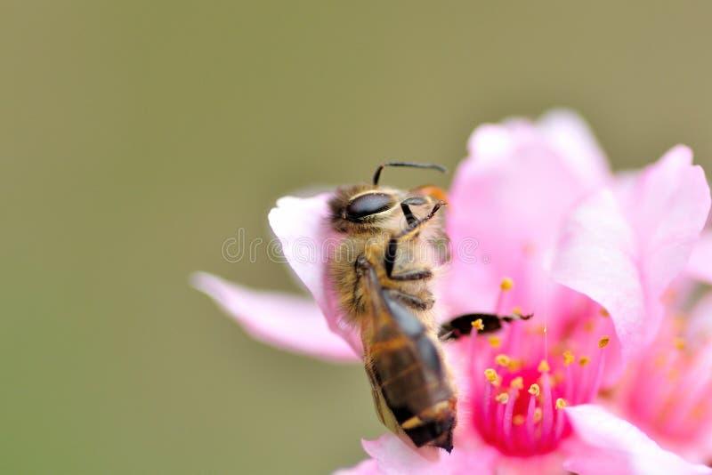 Uma abelha inoperante do mel imagens de stock