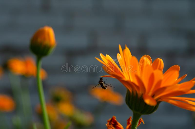 Uma abelha inoperante que pendura em uma pétala da margarida imagem de stock