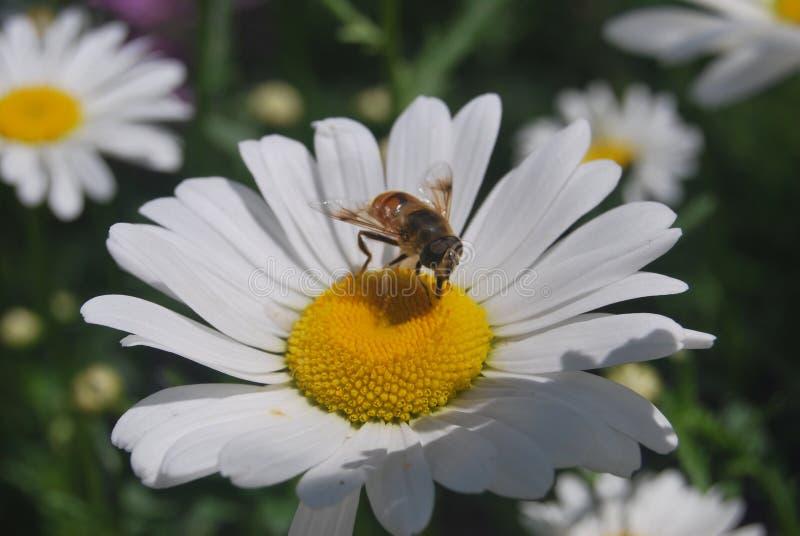 Uma abelha na flor do branco fotos de stock royalty free