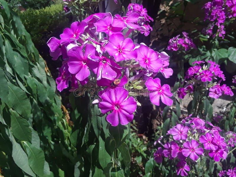 Uma abelha na névoa de um conjunto das flores roxas brilhantes 1 imagens de stock