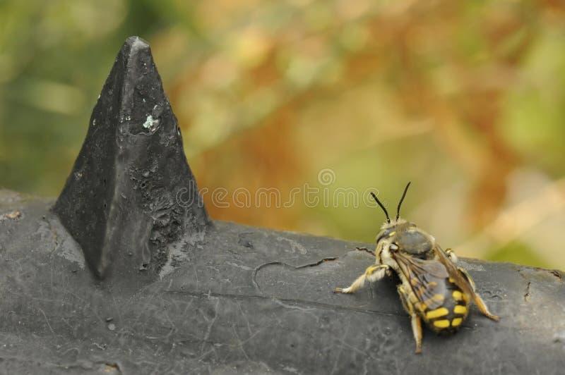 Uma abelha pequena foto de stock royalty free