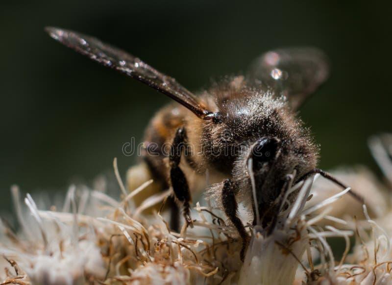 Uma abelha pequena em uma flor imagem de stock