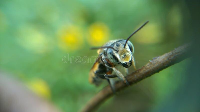 Uma abelha pequena em um ramo foto de stock