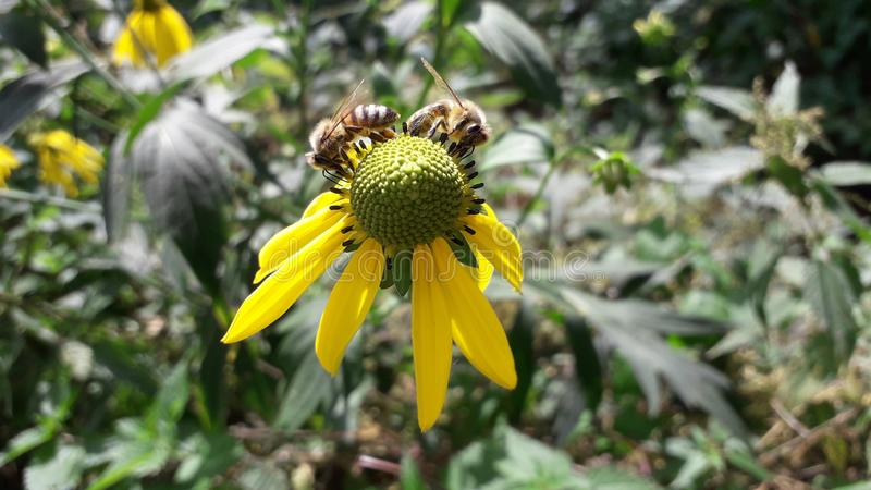 Uma abelha poliniza da flor amarela fotos de stock royalty free