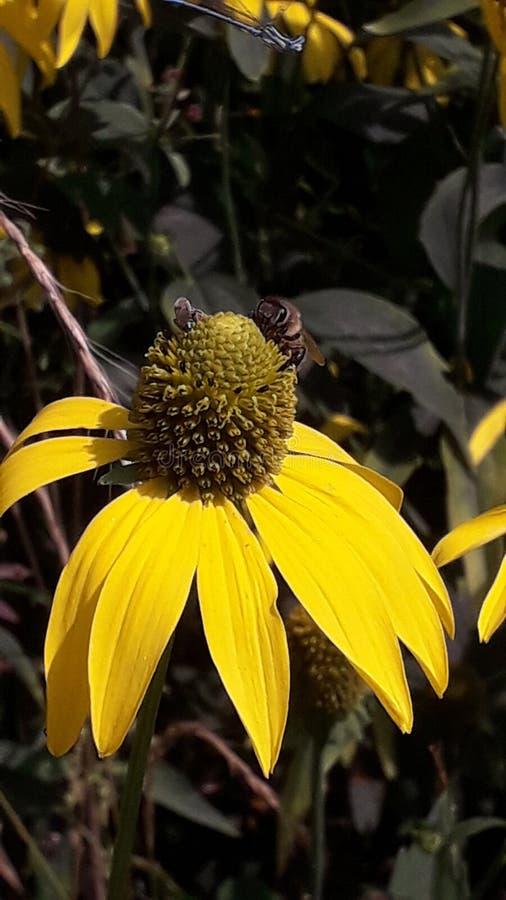 Uma abelha poliniza da flor amarela imagens de stock royalty free