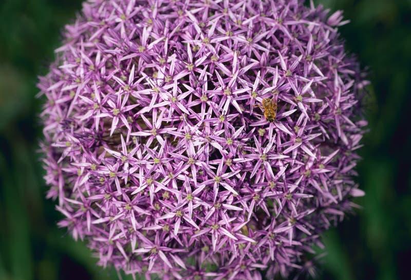 Uma abelha poliniza um conjunto de flores do allium imagens de stock
