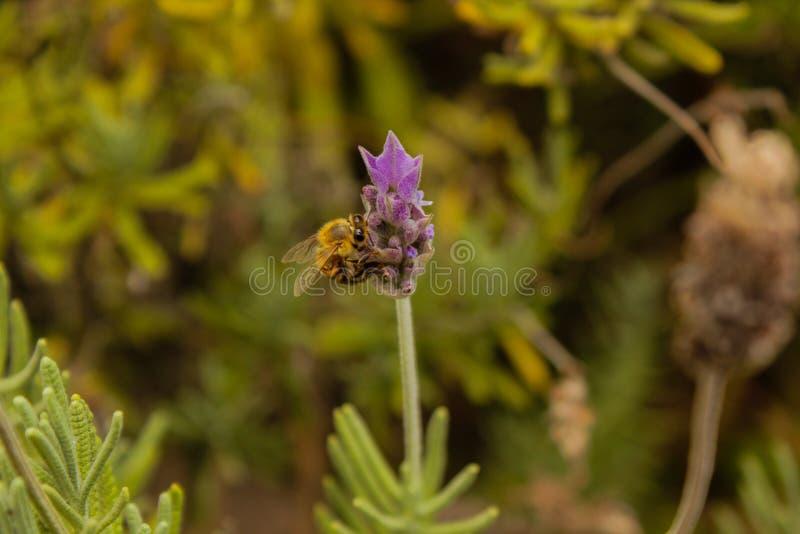 Uma abelha que beija uma flor da alfazema imagem de stock