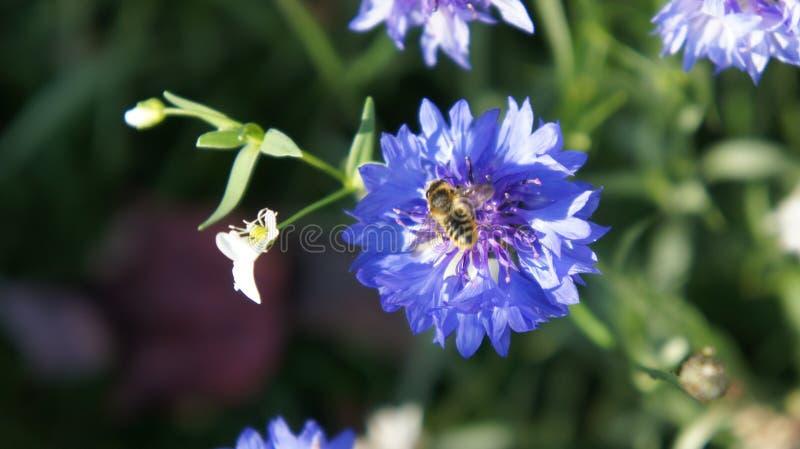 Uma abelha que forrageia uma flor azul pequena imagem de stock