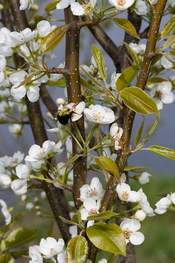 Uma abelha que pollinating uma flor da pera. imagem de stock royalty free