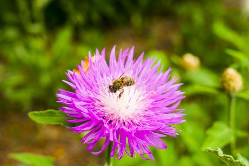 Uma abelha que recolhe o néctar com mola bonita floresce Um roxo imagem de stock royalty free