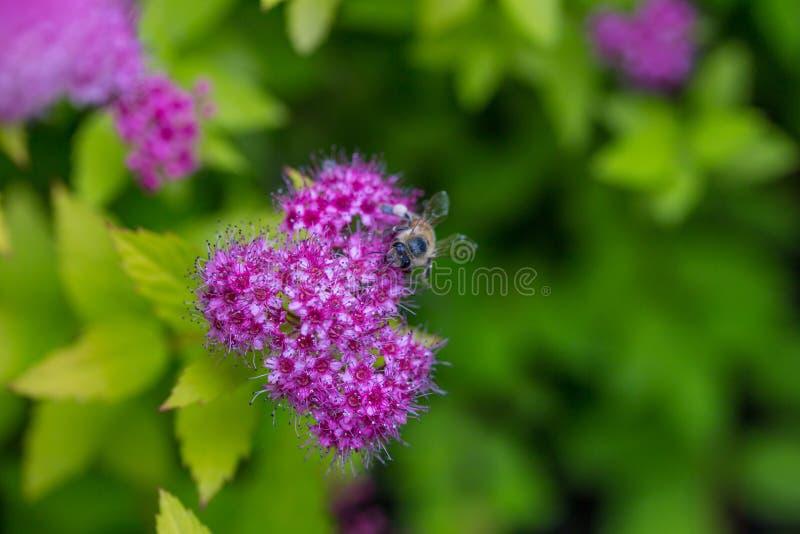 Uma abelha que recolhe o pólen em Spirea Japonica Macro do close-up fotografia de stock royalty free