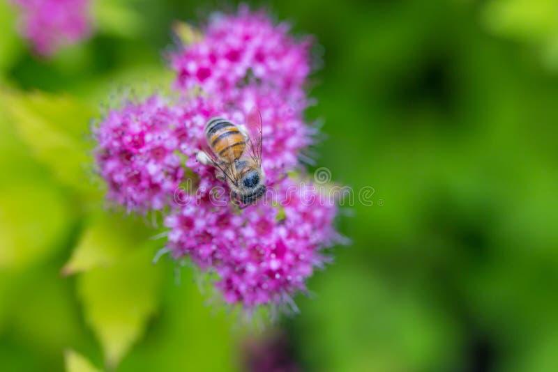 Uma abelha que recolhe o pólen em Spirea Japonica Macro do close-up imagem de stock