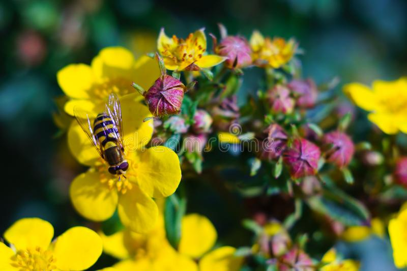 Uma abelha recolhe o n?ctar em uma flor amarela em um dia ensolarado claro Close-up Conceito do ver?o Foco macio imagens de stock